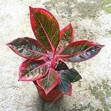 Vistaric 50 pcs/bolsa Aglaonema 'Pink Dud', hermosas plantas de mosaico, perennes, árboles de hoja perenne, semillas de flores, planta de interior, maceta de jardín 9