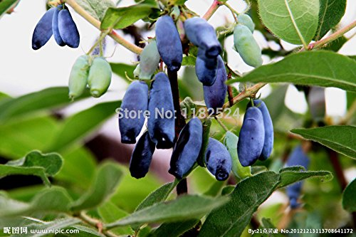 Semences supérieur de la manière limitée Graines de fleurs 50pcs genuinos semences Chèvrefeuille Bleu de fruits 6 Rare 100%