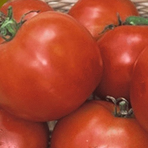 50 Manitoba Tomate Heirloom Seeds
