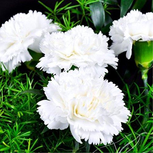 Rare Carnation Black Seeds Balcon Cour Jardin des Plantes en pot Rose Dianthus caryophyllus Graines de fleurs 100PCS Livraison gratuite 6