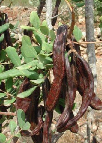 TROPICA - Carob/Johannisbrotbaum (Ceratonia siliqua var. edulis) - 30 Samen