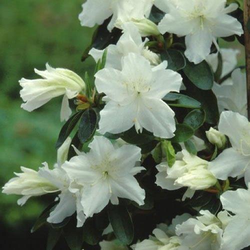 1 X Azalea 'Geisha White' Japanese Evergreen Shrub Hardy Plant in Pot