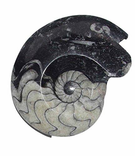 Goniatit versteinertes Fossil (Ammonit) fossiles Gehäuse eines Kopffüßlers ca. 360 Millionen Jahre alt ca. 50 - 60 mm.(3737)