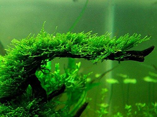 AquaPlants Vesicularia dubyana Mini 'Christmas' / Christmas Moss Mini - 4x6 cm Portion
