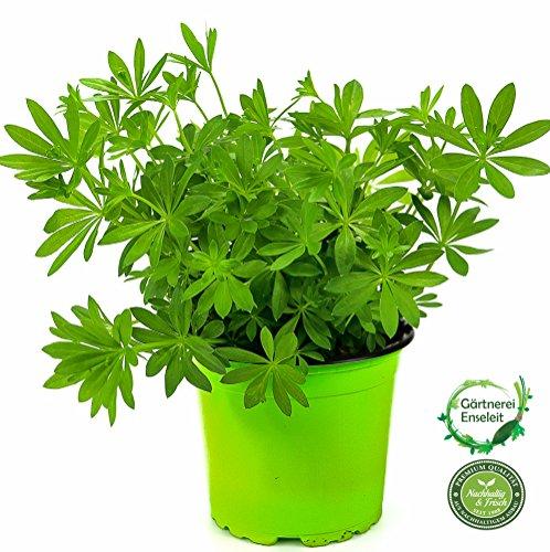 Waldmeister, Galium odoratum, frische waldmeister Pflanze