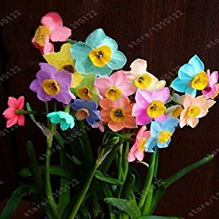 100pcs narciso de flores, pétalos dobles semillas arco iris narciso (no bulbos de narcisos) bonsai semillas de flores de plantas acuáticas para el jardín de su casa