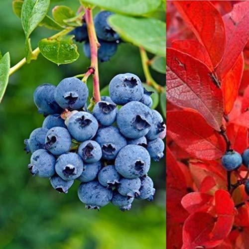 2 x Blueberry Bush 'Blue Jay' Plants - High Yielder - Vaccinium Bush