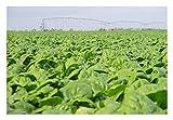 Premier Seeds Direct FK-F067-KBCL semi di spinaci Medina più fini (confezione da 1000)