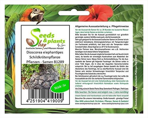 Stk - 5x Dioscorea elephantipes Schildkrötenpflanze Pflanzen - Samen B1289 - Seeds Plants Shop Samenbank Pfullingen Patrik Ipsa