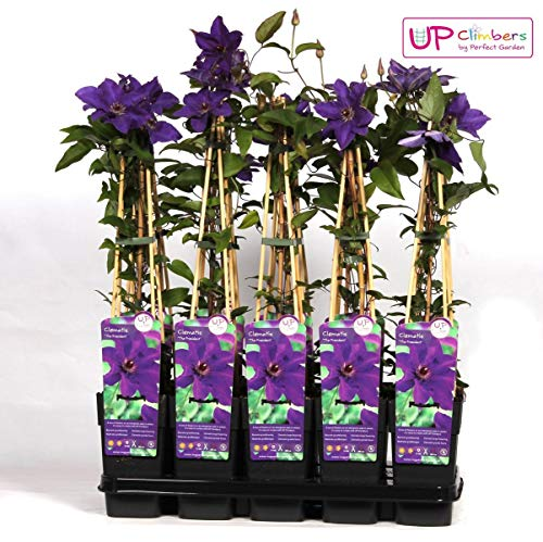 Waldrebe Clematis The President 60-80 cm