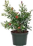 American Plant Exchange Pomegranate Real Live Miniature Fruit Plant 6'...
