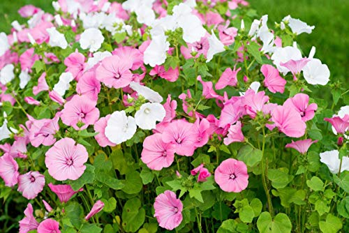Lavatera Mallow Flower Seeds to Plant in Your Garden