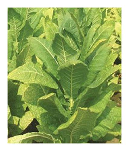 Tobacco Virginia Bright Leaf - Tabac Virginia Bright Leaf - Feuille lumineuse - 100 graines
