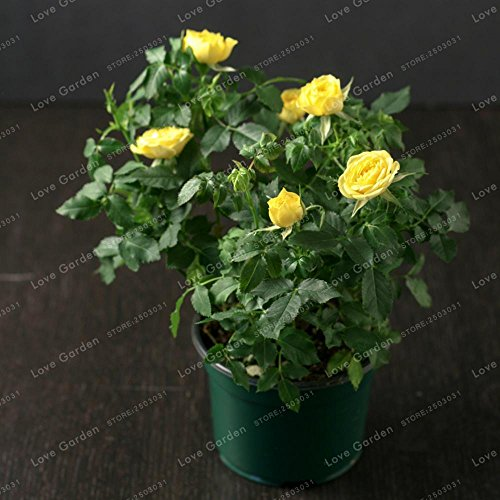 Generic Fresh 100 Stk. Miniatur Rose Pflanze SAMEN zum Pflanzen gelb