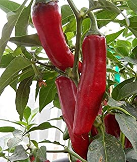 szegedi pepper