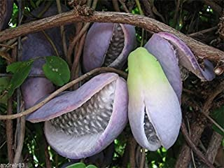 Akebia trifoliata Seeds Chocolate Vine Exotic Fruit 2 seeds S0627