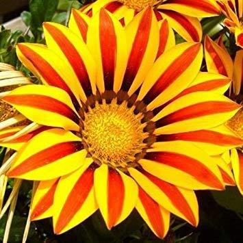 SANHOC Samen-Paket: Gazania Garden er rote gestreifte Seeds (Gazania Rigens) 10 + Seeds
