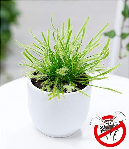 """BALDUR-Garten Fleischfressende Pflanze""""Sonnentau"""", 1 Pflanze Drosera Fliegenfänger Zimmerpflanze"""