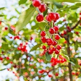 Heirloom Organic Sweetheart Cherry Tree 10 Seeds