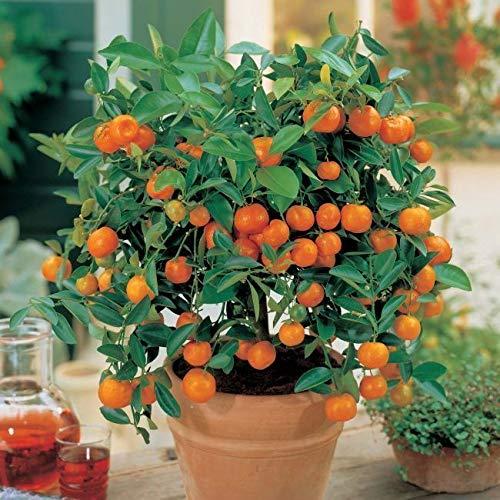 Portal Cool 30Pcs Bonsai Samen Essbare Mandarin Zwergbaum-Dekor Gartenpflanzen