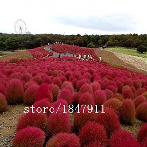 Graines Kochia bonsaï les plantes vente Big vente Hot jardin bricolage maison de semences de gazon