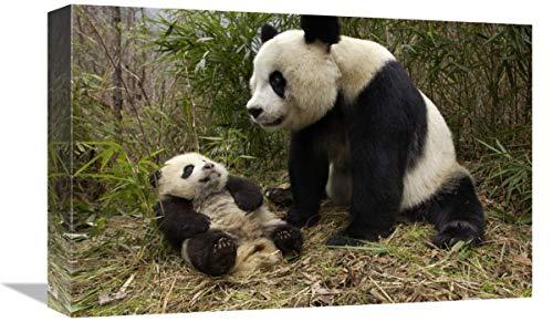 Global Gallery Panda Gigante y bebé en Bosque de bambú, Reserva Natural...