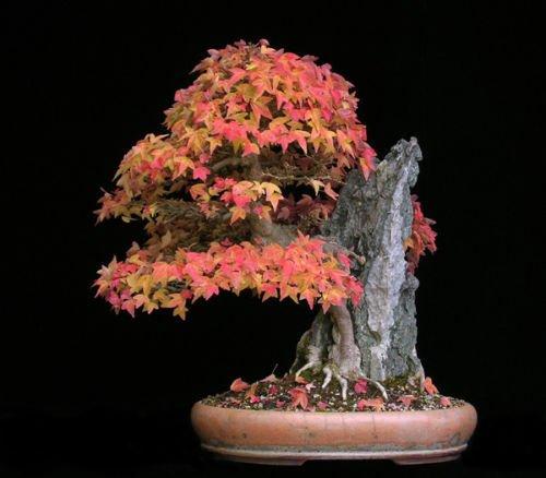 30 semillas - Trident arce, Acer buergerianum, semillas de árboles (color de la caída, Hardy, Bonsai)