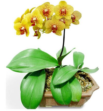 Fleur exotique Orchidée Graines Cattleya Multicolor Papillon Orchidee Bonsai Monoflord Mini jardin plante facile à cultiver 200 pcs/sac 6
