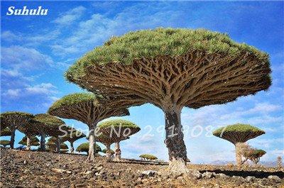 Livraison gratuite 10 Pcs rares Dracaena arbre alpiste Tree Island sang (Dracaena draco) Jardin des plantes voyantes, exotiques 14 Diy