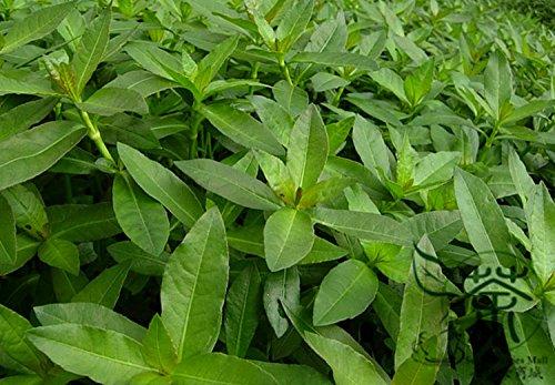 Big Promotion! Graines Cycas plante à graines en pot de fleurs des articles de bricolage jardin ménage 10 PCS / sac Cycas Seeds, # OOG2ZJ