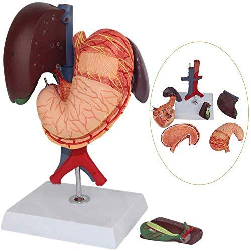 LMEIL Modelo anatómico médico, estómago Humano, hígado, vesícula biliar, páncreas, duodeno, Modelo de estómago, Sistema, gastroenterología de órganos