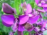 1 pezzo. Vendiamo solo semi Alto tasso di germinazione dei semi. Spediamo internazionalmente Settembre-Polygala Myrtifolia - 22 semi -s