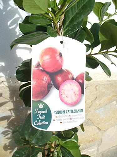1 Pflanze - Erdbeer-Guave - Psidium cattleianum, Kirsch-Guave, Gesundheitsfrucht 110-125 cm