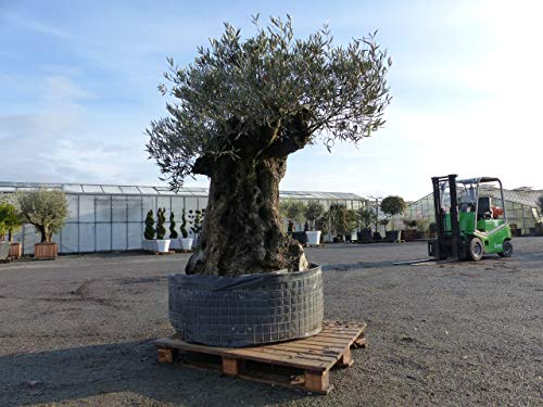 NR: A2 genau dieser: Olea Europaea, uriger, knorriger Olivenbaum, alte Olive winterhart