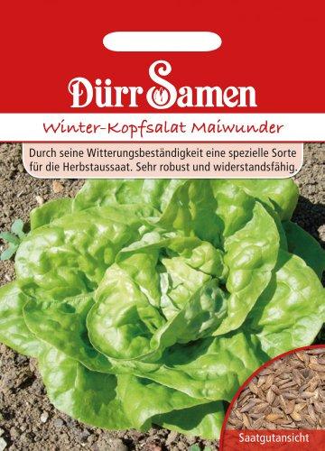 Dürr Samen 0034 Winterkopfsalat Maiwunder (Winterkopfsalatsamen)
