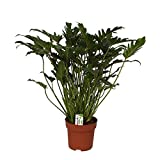 Philodendron Xanadu in 21cm pot, total height ca. 65cm