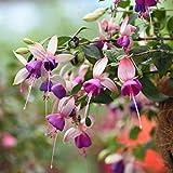 Pflanzen Kölle Fuchsien stehend, 6er-Set, Fuchsia, rosa/lila, Topf 12 cm Ø