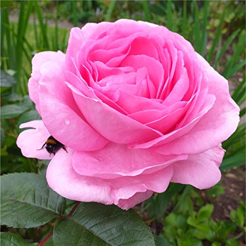 Mum in a Million Hybrid Tea Rose Bush, Well Scented Repeating Pink Flowers 3fatpigs