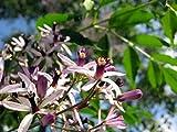cina, melia azedarach, 30 semi di semi (fast, ,fragrante) L'immagine è soltanto per riferimento Sementi di germinazione Articolo pacchetto quantità: 1 Servizio soddisfacente