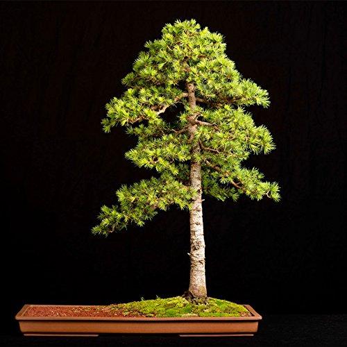 10 pcs/cèdre sac Graines sortes de graines d'arbres bonsaï vert usine de cèdre du Japon pour les plantes ligneuses vivaces droites de jardin à la maison 5