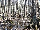 Alnus Glutinosa- Alder Tree. 25 Semillas