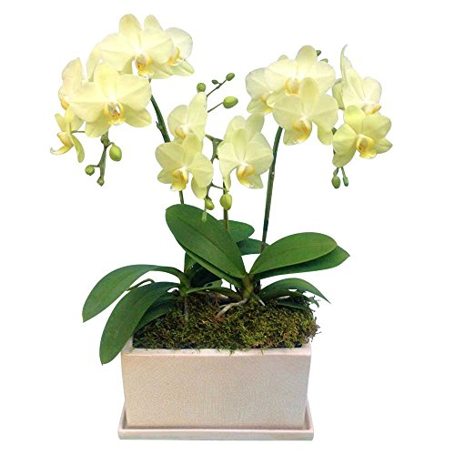ミニ胡蝶蘭 ギフト パルテノ鉢 5.5号鉢 3本立 イエロー01 お花 プレゼント お祝い 生花 鉢植え 開店祝い 父の日 敬老の日 おじいちゃん 贈り物