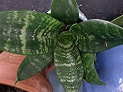 Mother In Law S Tongue Aka Snake Plant Sansevieria