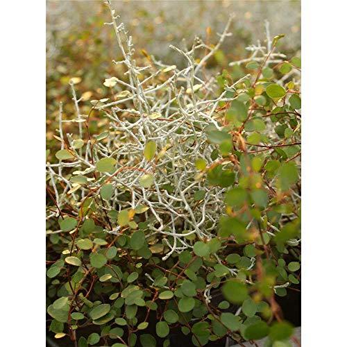 Mueca - Mühlenbeckia-Calocephalus Mix, im Topf 12 cm - 12 cm