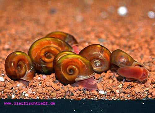 Rode posthoornslak - Planorbella duryi 5 stuks algenfresser in het aquarium + 1 voedermonster van de Beierse aquaristiekatelier