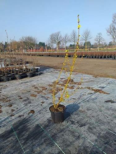 Späth Forsythie 'Lynwood' LH 60-100 cm im 3 Liter Topf Heckenpflanze winterhart Zierstrauch gelb blühend
