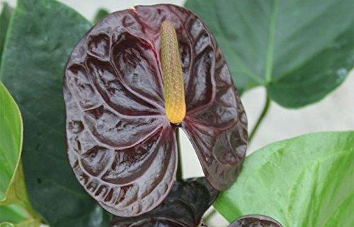 100 pcs Noir + rose Anthurium Graines rares graines de fleurs Balcon Plante en pot + rose graines comme cadeaux, Bonsai pour le bricolage jardin