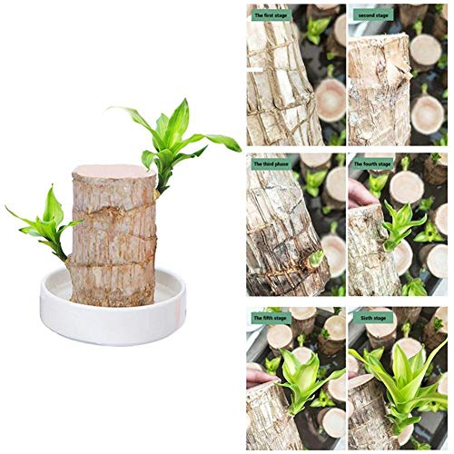 Teckey Mini Brazil Lucky Wood, Pot Plant Mini Multifunction Plant with Dish Beautiful Table Decoration Indoor