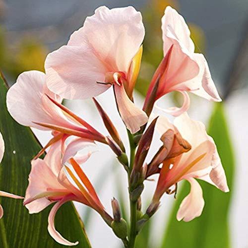 Blumenzwiebeln,Gartenblumen,Canna bedeutet harten Willen,Indisches Blumenrohr,Seltene Pflanzen,Blumenrohr Rhizom,Sie können Ihren Hof dekorieren-1 Zwiebeln,b