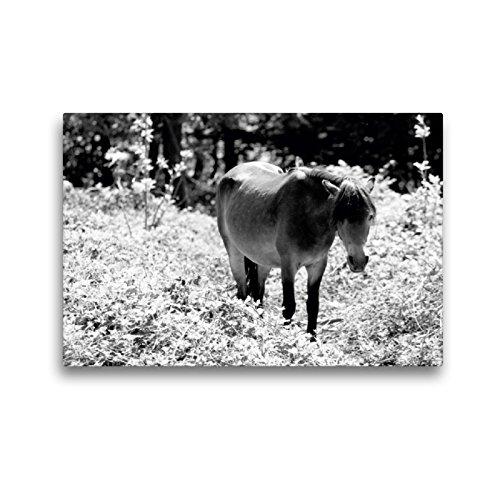 CALVENDO Premium Textil-Leinwand 45 x 30 cm Quer-Format Exmoor Pony Stute, Leinwanddruck von Meike Bölts
